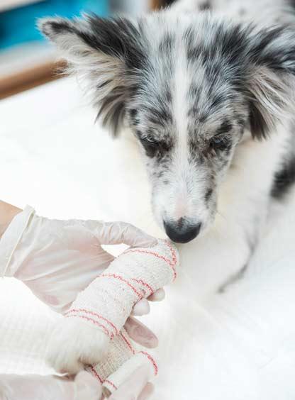 traumatología-como-especialidades-veterinarias